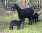 Black Welsh ewe and lambs