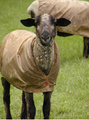 cvm sheep