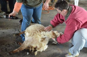 shearing_Accokeek