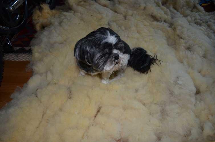 Max has been busy inspecting fleece!