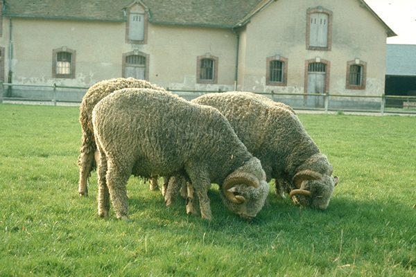 Rambouillet sheep