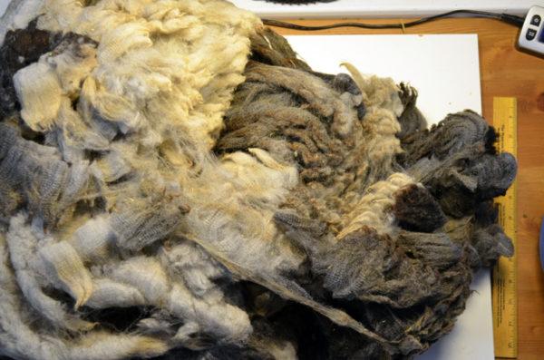 Natural colored Hampshire fleece